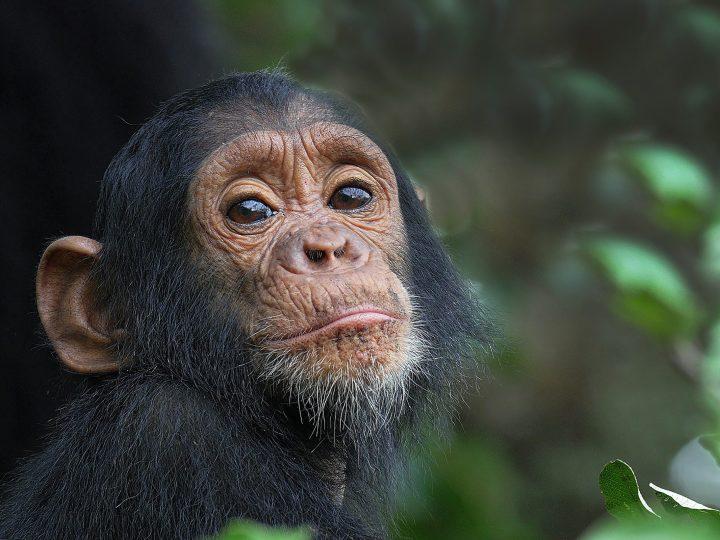 Unangemessene Videos in den Sozialen Medien schaden Schimpansen