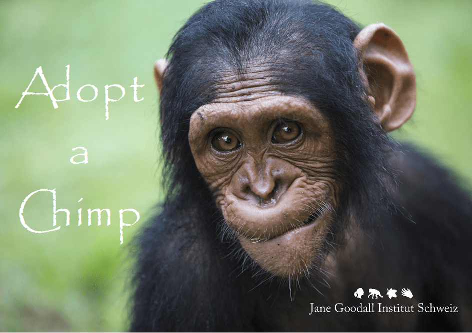 Adopt a chimp. Symbolische Patenschaften