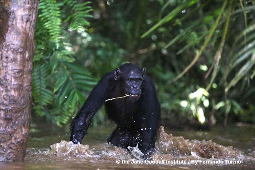 himpanzee Mambou at Tchindzoulou island. Jane Goodall Institut Schweiz