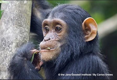 Schimpanse JGI Schweiz