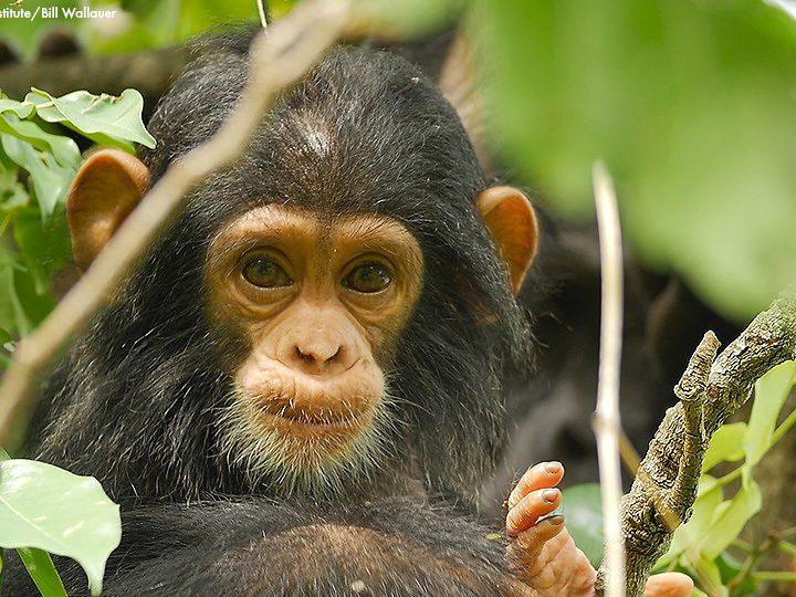 Das Jane Goodall Institut feiert 60 Jahre Gombe