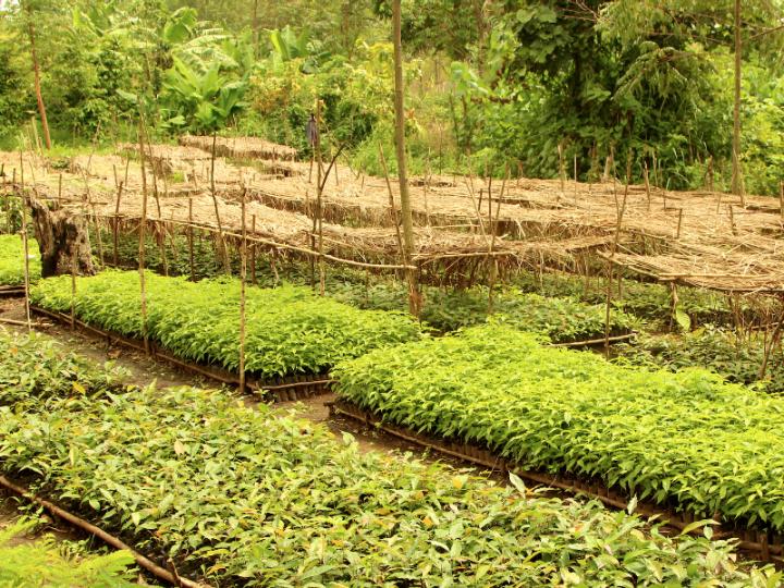 Eine Million Bäume für Westuganda