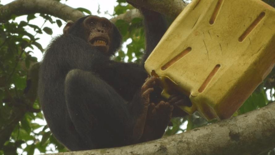 Schimpansenjungen JGI Schweiz